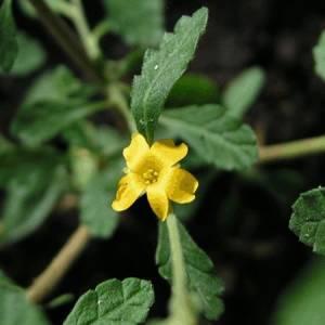 Νταμιάνα βότανο
