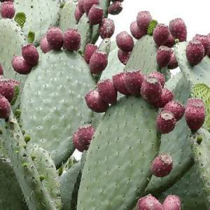 Φραγκοσυκιά (Σκόνη) βότανο