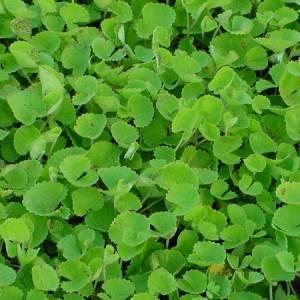 Σεντέλα (Yδροκοτύλη) βότανο