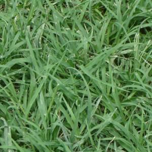 Αγριάδα βότανο