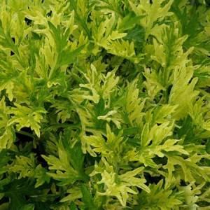 Αρτεμισία (Αψιθιά) βότανο