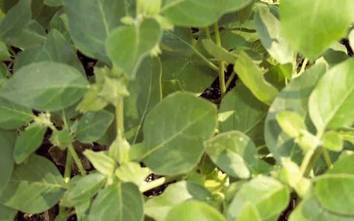 Ινδικό Τζίνσενγκ βότανο
