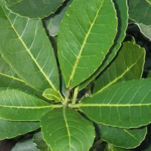 Μάτε βότανο
