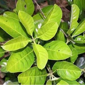 Τόνκα φασόλι  (Kumaru)