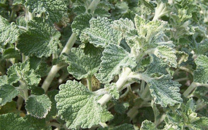 Μαρούβιο βότανο