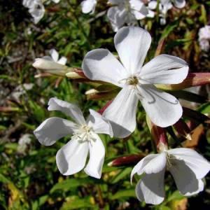 Σαπουνόχορτο βότανο