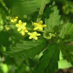 Αγριμόνιο (Ευπατόριο) βότανο