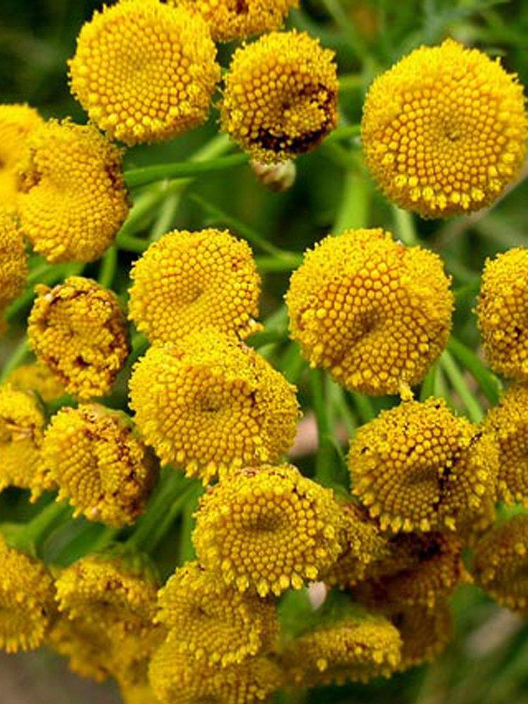 Τανατσετο (Θηρανθεμις) βότανο