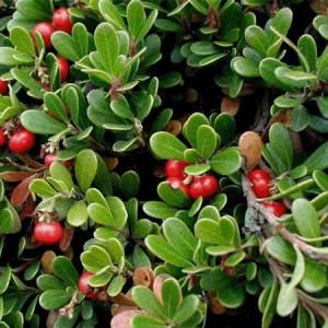 Αρκτοστάφυλος βότανο