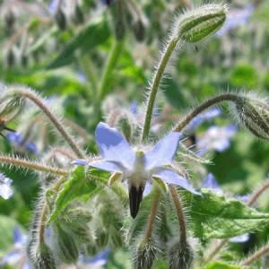 Μποράγκo βότανο