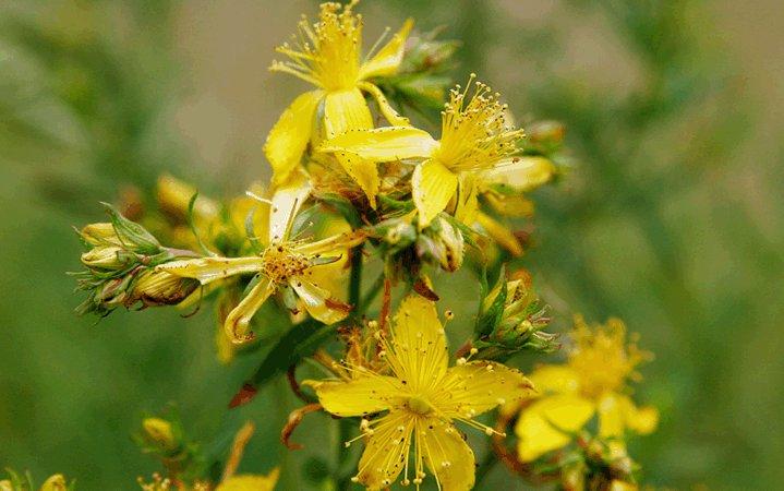 Βαλσαμόχορτο βότανο