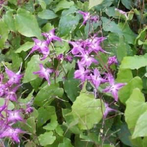 Χόρνι Γκόουτ (Epimedium) βότανο