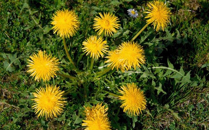 Ταραξάκο βότανο