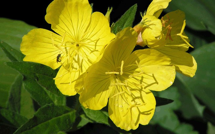 Νυχτολούλουδο (Σπόροι) βότανο