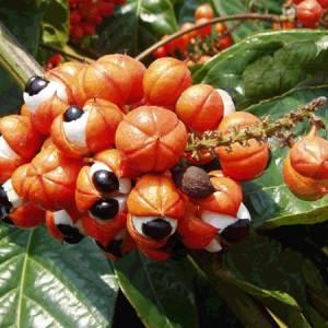 Γκουαράνα (Σπόροι) βότανο