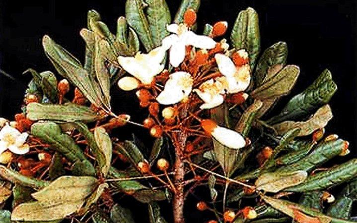 Κατουάμπα βότανο