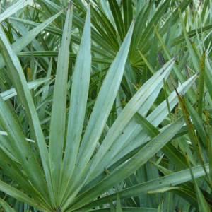 Παλμέτο (Σερενόα) βότανο (Καρποί)