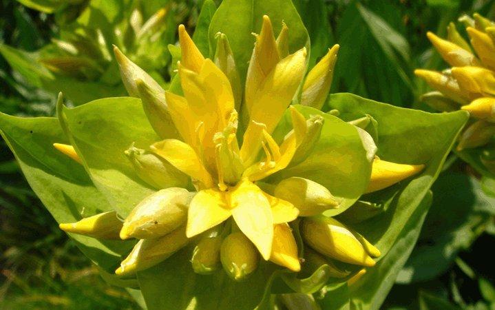 Γεντιανή (Αγριοπιπεριά) βότανο
