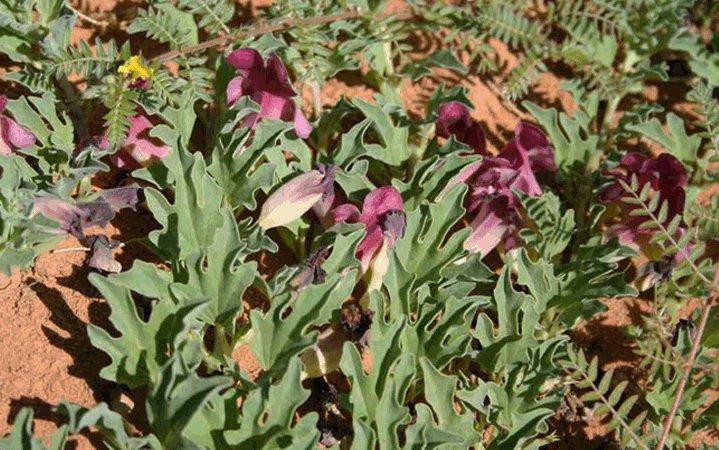 Αρπαγόφυτο βότανο