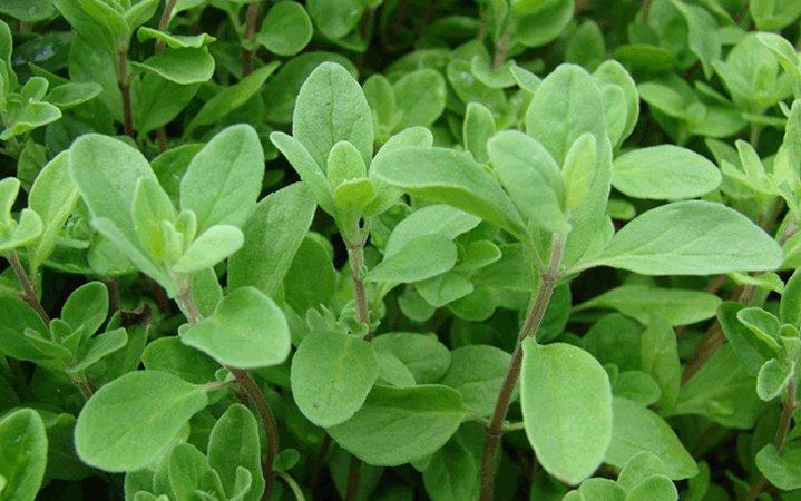 Μαντζουράνα βότανο