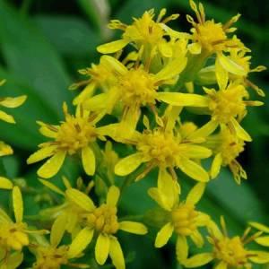 Χρυσόβεργα (Σολιντάγκο) βότανο