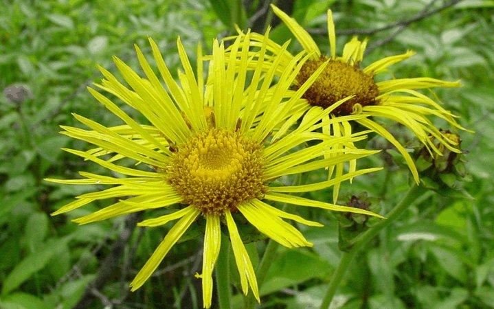 Ίνουλα (Ελένιο) βότανο