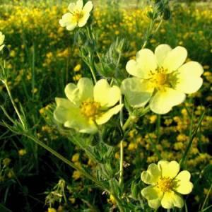 Ποτεντίλλη (Πεντάφυλλο) βότανο