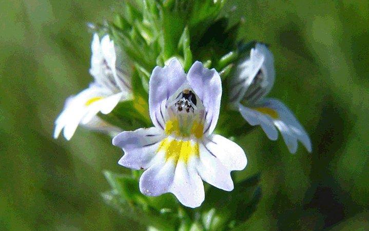 Ευφραζία βότανο
