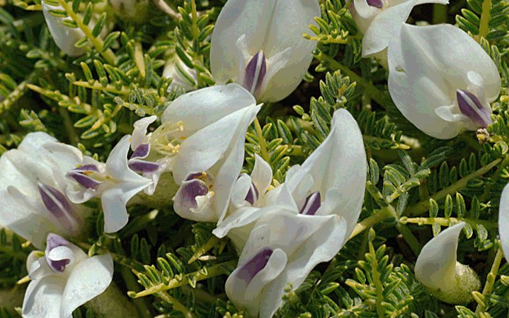 Αστράγαλος βότανο