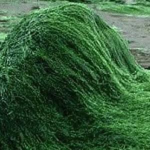 Σπιρουλίνα βότανο (Σκόνη)