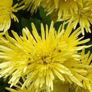 Χρυσάνθεμο βότανο