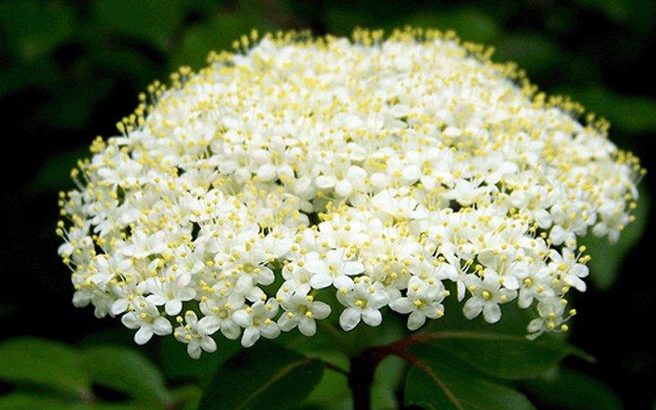 Βιβούρνο (Μαύρος κράταιγος) βότανο