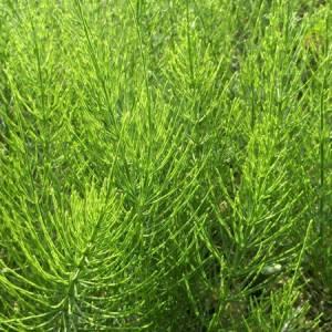 Εκουιζέτο (Πολυκόμπι) βότανο